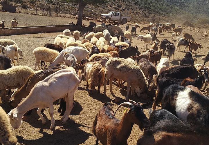 Cretan Culture Cretan Mountain Life Learn To Milk A Goat
